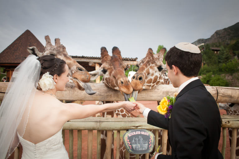 Bride and groom feed giraffes at Cheyenne Mountain Zoo