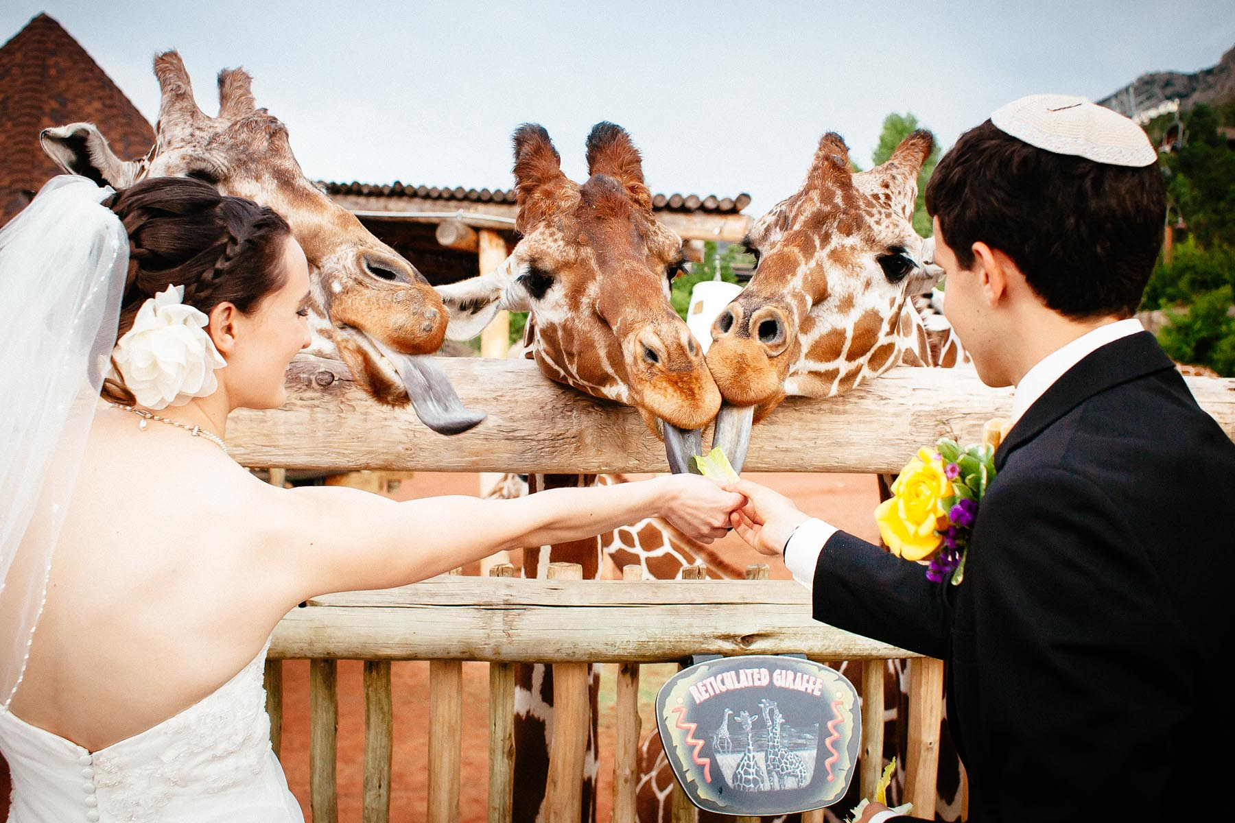 Wedding couple feeds giraffes at the Cheyenne Mountain Zoo.